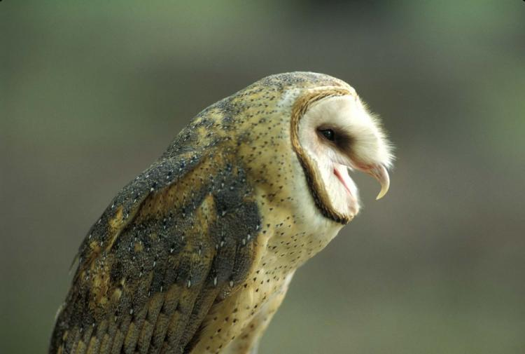 What do snowy owls eat for Do owls eat fish
