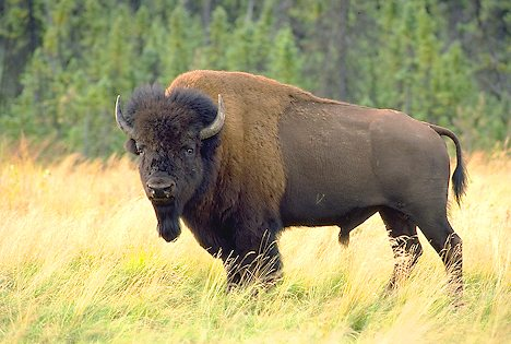 A Bison Eats What do bison eat