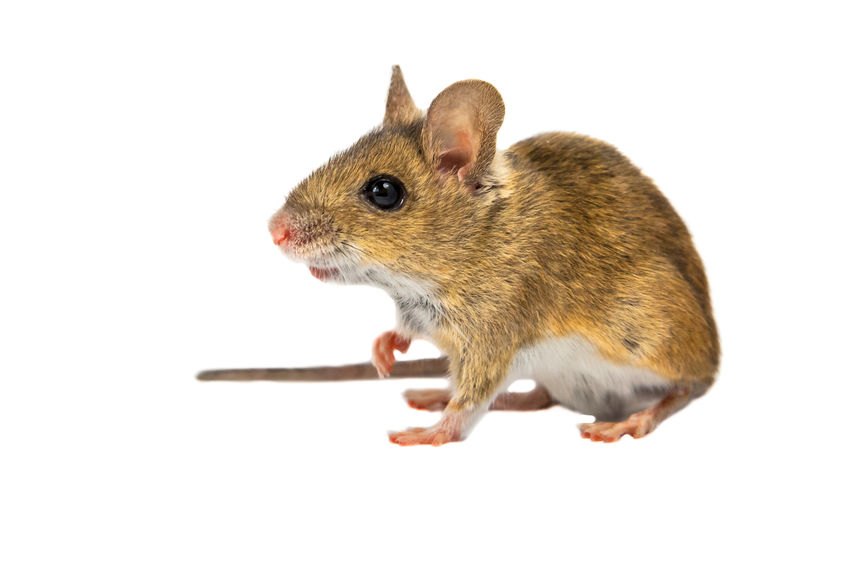 how to kill baby mice in back yard