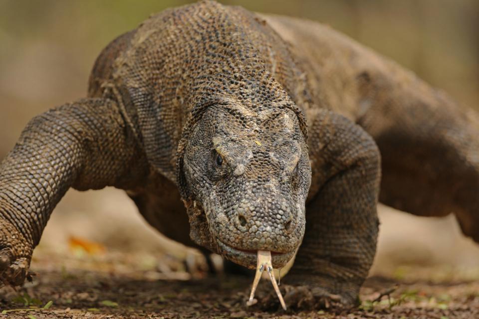 what do komodo dragons eat
