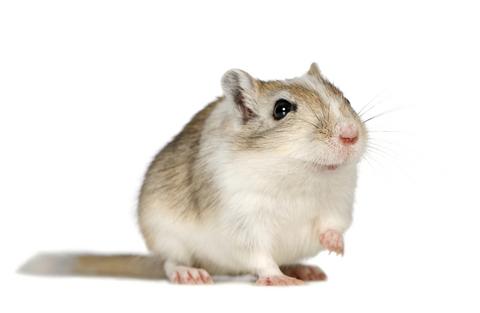 What do gerbils eat ?