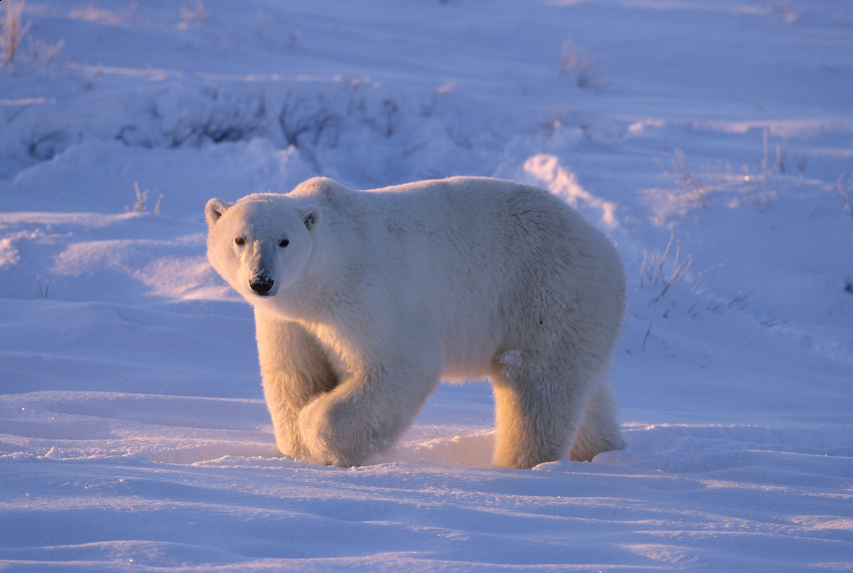 an analysis of polar bears Although studies of polar bear sperm quality in relation to pcbs are  by  contrast, the genetic analysis of svalbard polar bears from the late.