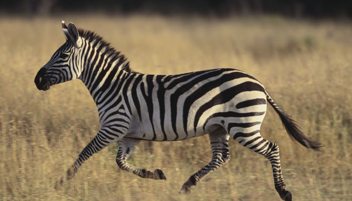 facts and information about zebras Zebras dine on grass, leaves, shrubs, and other plants, since they are herbivores when a baby zebra reaches about one week of age, they will begin to graze they will remain close to their mother during the first year of their life.