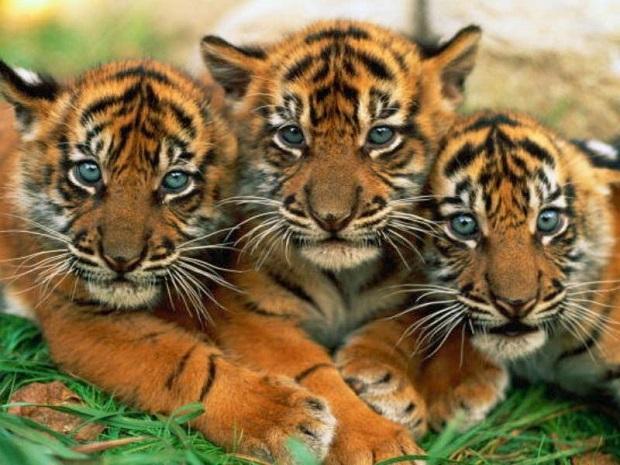 Bengal Tiger Live