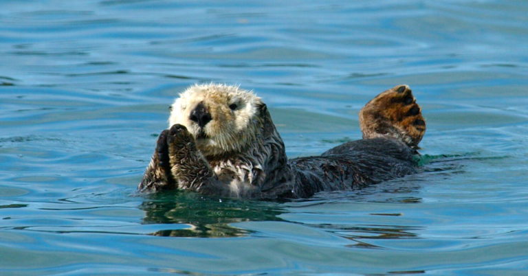sea otters Wildlife viewing in alaska, alaska department of fish and game.