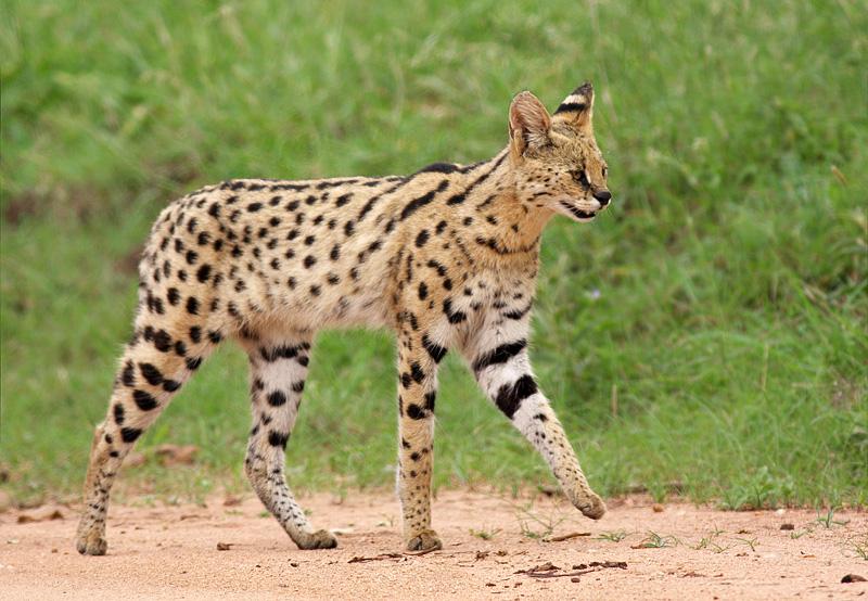 Where do servals live ?