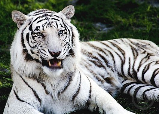 how long do white tigers live ?