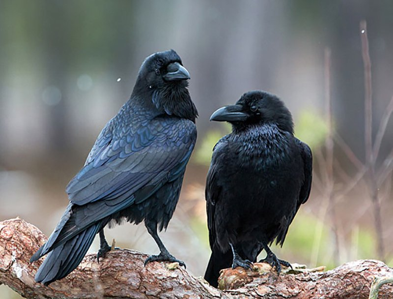 Where Do Crows Live