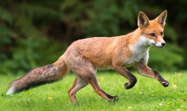 What Is A Group Of Foxes Called 118