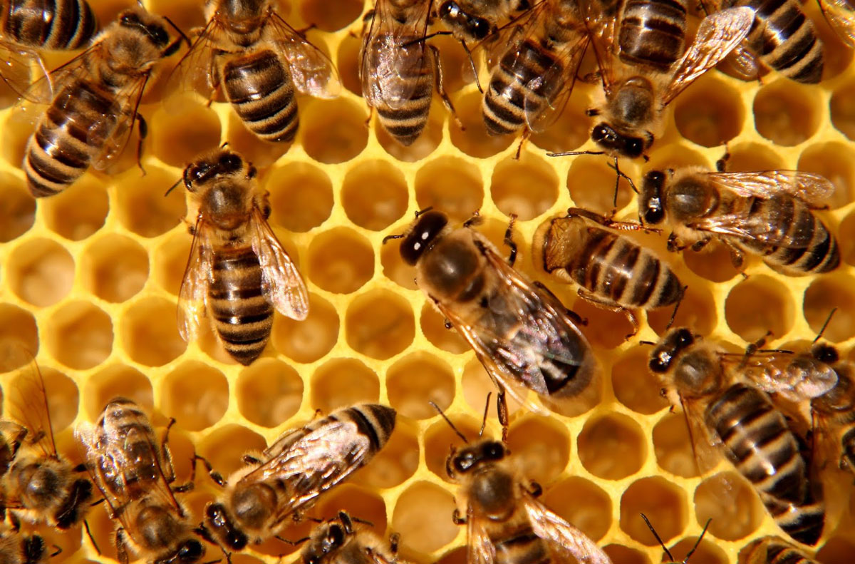 How long does a bee live? Is it possible to save her from death? 36