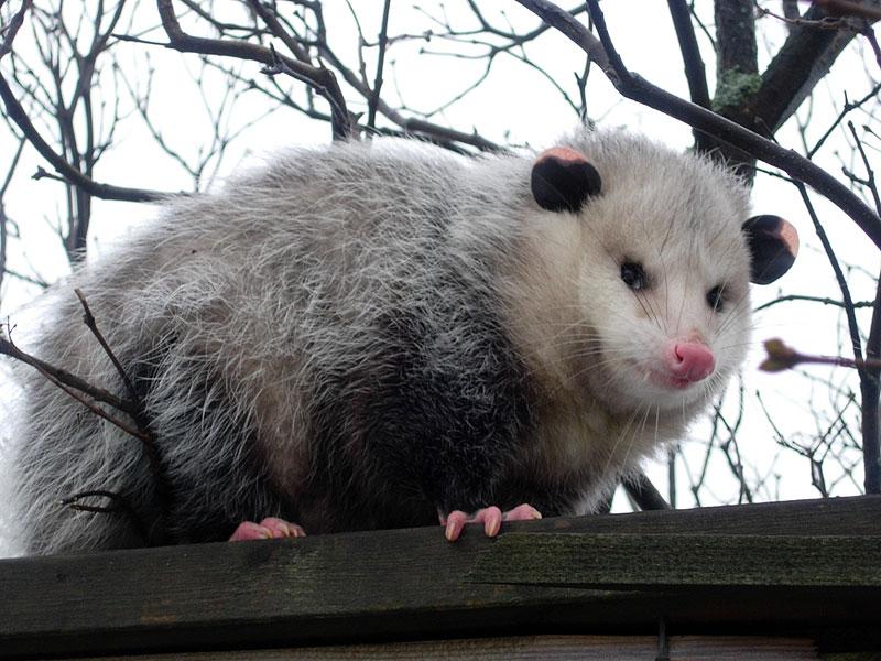How long do possums live