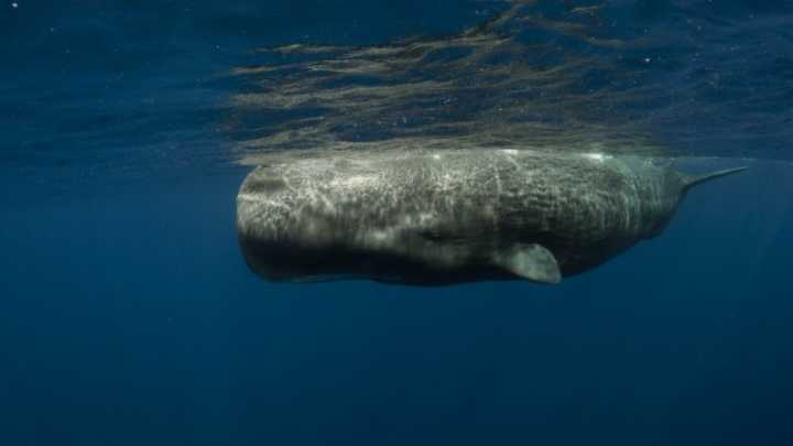 How long do sperm whales live think, that