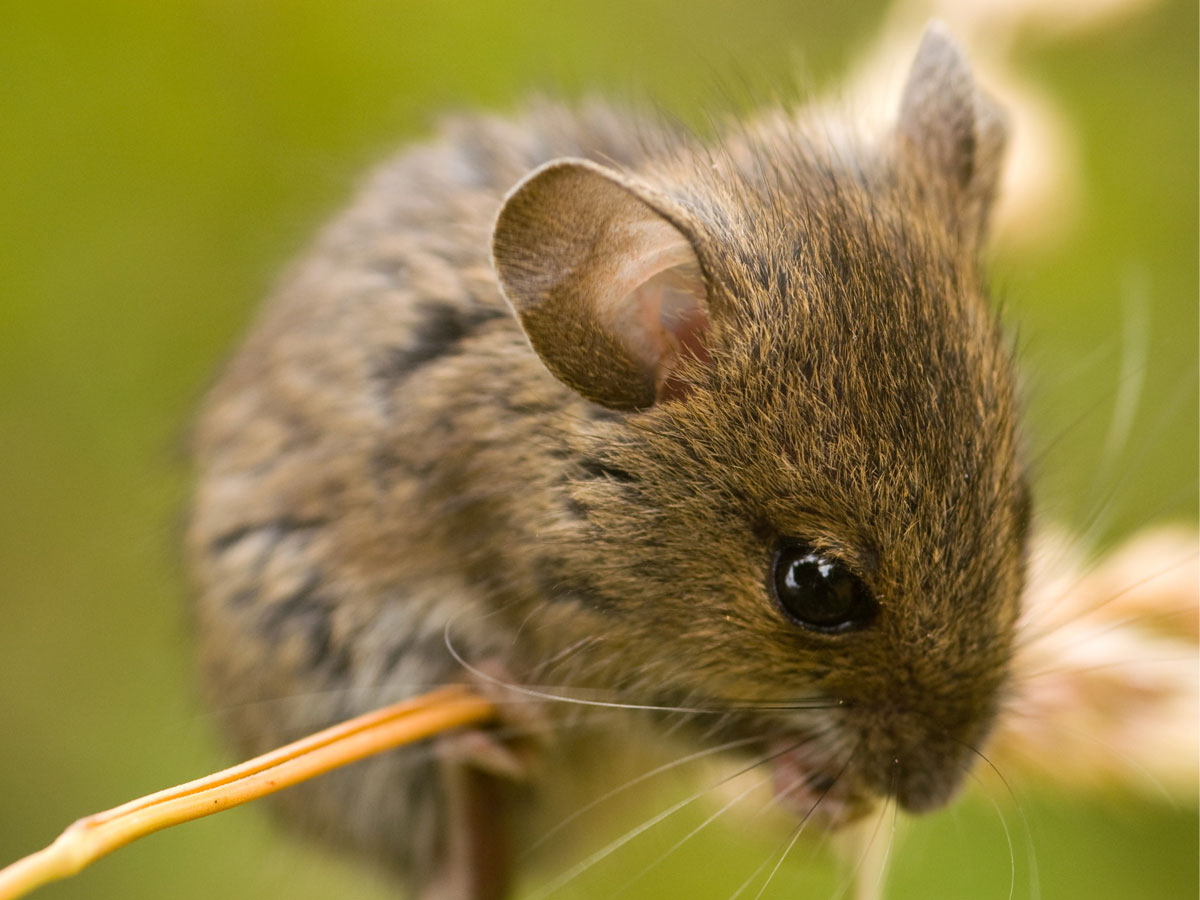 Can mice jump