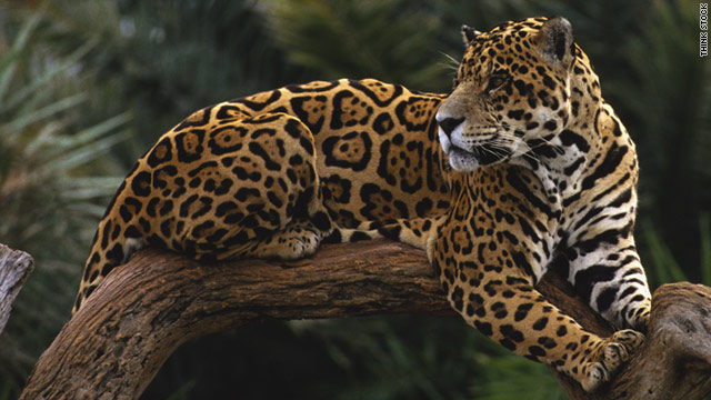 Jaguars Are Stunningly Beautiful Animals Of The Cat Family, They Are One Of  Four Representatives Of The Genus Panther Along With A Lion, ...