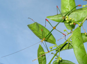 Stick Insects Information