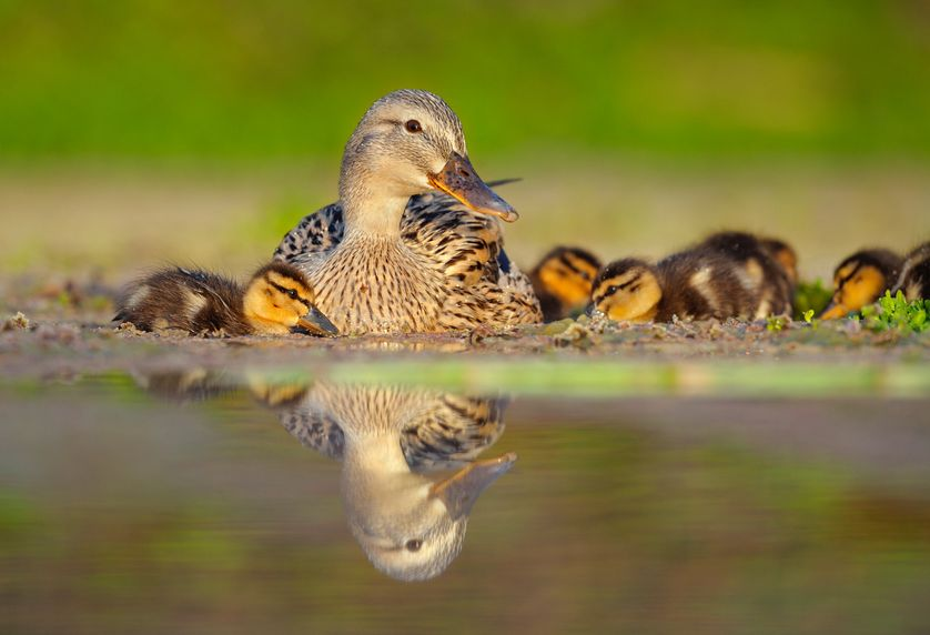 What Do Wild Ducks Eat For Food
