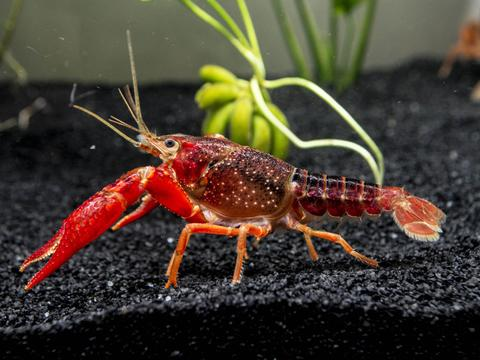 Crayfish Anatomy