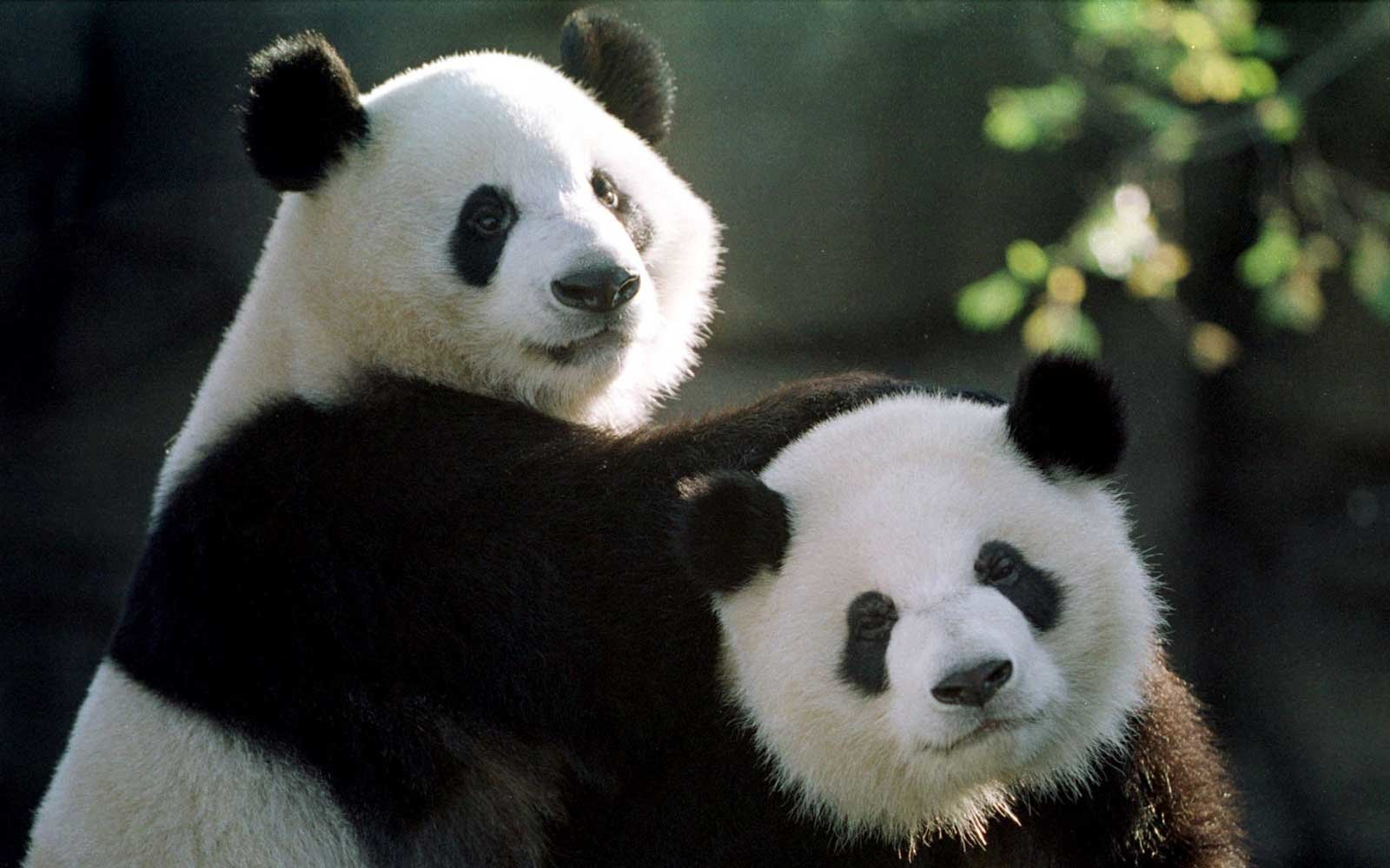 How Many Giant Pandas Are Left in the World? | Giant panda