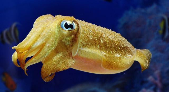 Where Do Cuttlefish Live