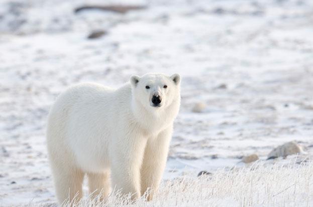 How long do polar bears live ?