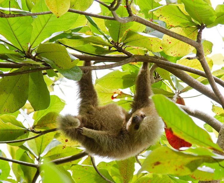 What Do Jaguars Eat >> How long do sloths live