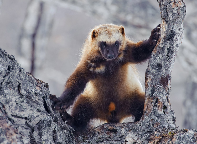 Facts About Wolverines