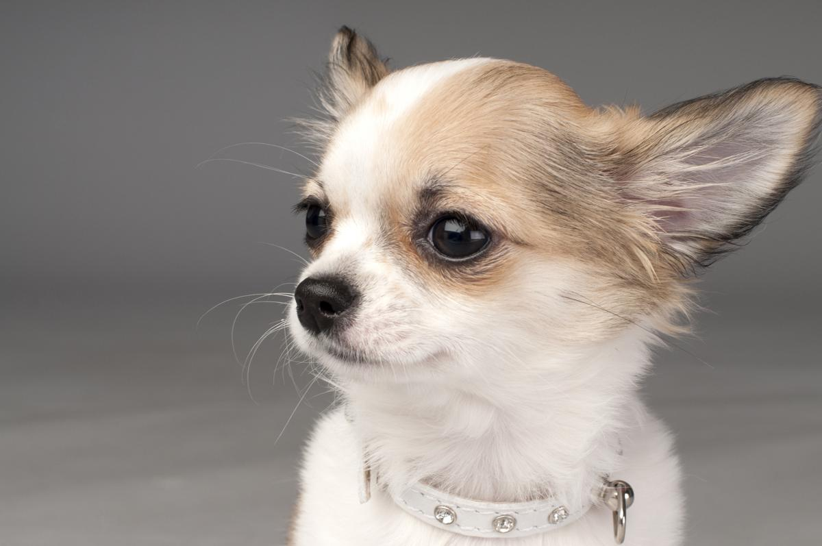 how long does a chihuahua live dogs information 1516