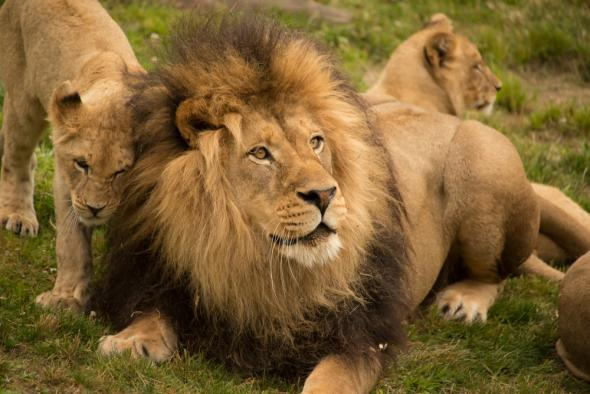 48++ Female lion are called information