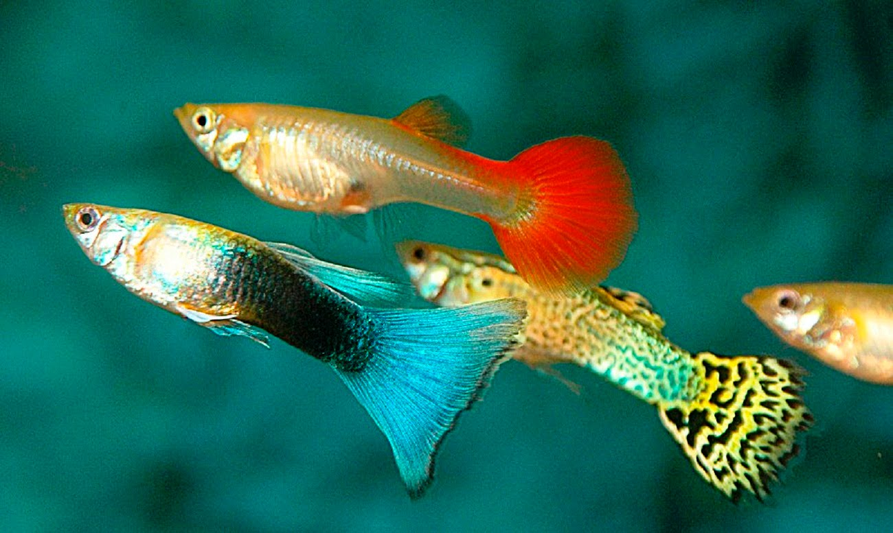what do guppies eat